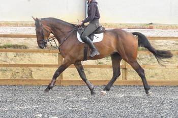 SUPERB RIDING CLUB HORSE/SHOWJUMPER/EVENTER