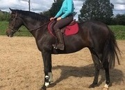 Handsome and Quality 16hh 5yr Old very smart Gelding