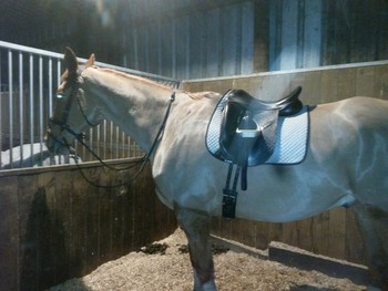 17.2hh perfect gentleman for part loan