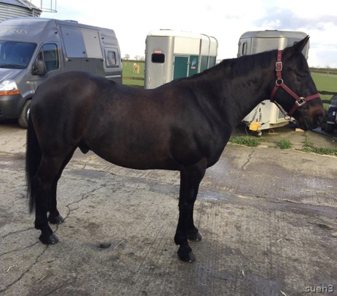 14.3hh 18yrs Dark Bay, Connemara x TB