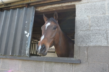 Approximately 16hh, 7yo thoroughbred gelding