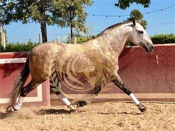 9 year-old - P.R.E. - Stallion - 1575 hh - Spain
