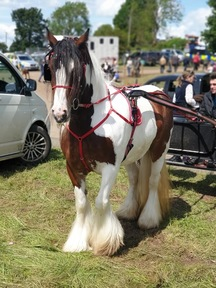 14.3 5 year old traditional mare