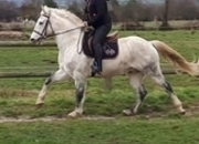 Ride and Drive Normandy Cob/Lusitano from the Jouvin stud.