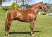 Superb RID Approved Stallion POA