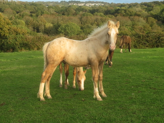 SMART SHOW QUALITY PALOMINO WELSH COB SECTION D COLT FOAL ...