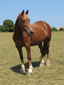 SMART WELSH PART-BRED CHESTNUT MARE - POTENTIAL BROODMARE AND CAN BE COVERED BY LICENSED CREMELLO STALLION - OTHER MARES AVAILABLE
