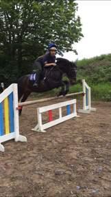 13.3 British sports pony