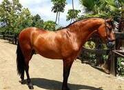 Stunning P.R.E 9yr Old Gelding For Sale
