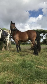 Welsh D filly with fab breeding
