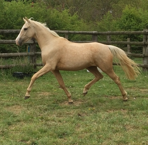 2016 Palomino filly to make 16.1/2hh. By Glitter n'Cream GF x Woodlander Del Amitri x Rivallino