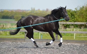 16.2hh 10year old mare