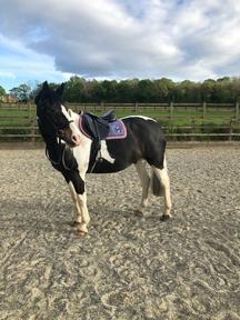 Super 15'2 Cob mare for sale or LWVTB