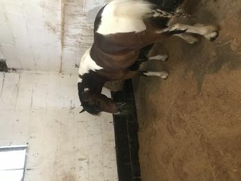11.2hh ride & drive pony