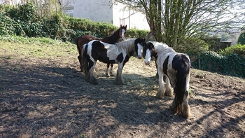 Rescue ponies for loan