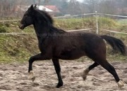 Top class dressage yearling