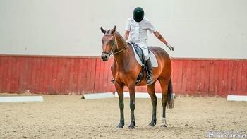 Ruby 16hh British Sports Horse