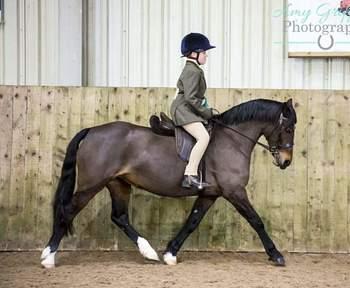 13.1h 10yro welsh c mare show pony