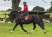 Quality 15.1hh chunky gelding