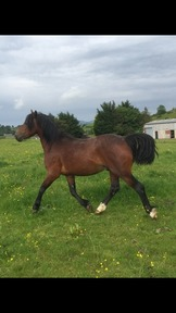 Welsh D.  2 year old colt.
