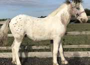 Dun & White Spotted Yearling Gelding To Make 15.2 hh