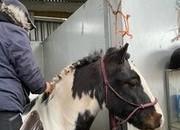 bomproof hacking pony