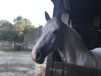 15.2 Blue and white Cob X mare