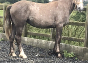 2 Years Old Irish Draught Filly