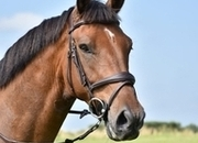 17hh 5yr Old Middleweight Show Horse