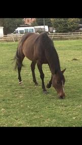 15.2 Bay Mare ex racehorse