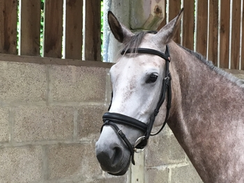 Snaffle Cavesson Bridle