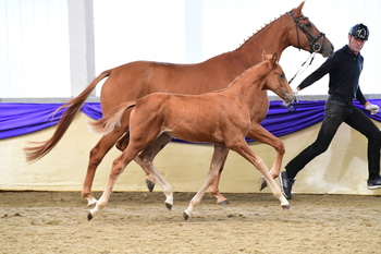 Top quality British Hanoverian premium yearling gelding