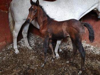 Flashy Heartbreaker KWPN x Connemara filly foal