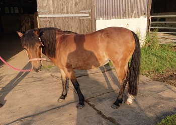 13hh Sweet Little Mare