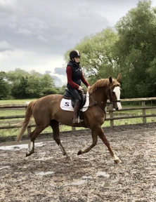 Classy BS registered Mare 16.2hh