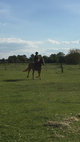 16.3 hh warmblood mare for sale