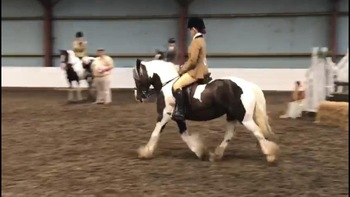Eye catching 14.1 traditional piebald coloured mare
