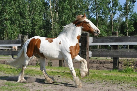 The Cob Horse Breed | Horsemart