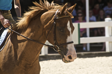 Selle Français Horse Breed Guide | Horsemart